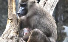Nace el segundo dril de esta primavera en el Bioparc, uno de los primates más amenazados de África