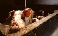 Descubren un virus porcino que podría ser letal para los humanos