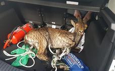 Aventuras de una cabra montesa: del centro de Valencia a una frutería de Sedaví