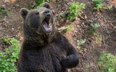 Muere un hombre ahogado al intentar escapar de un oso