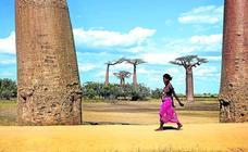Los baobabs se mueren y nadie sabe por qué