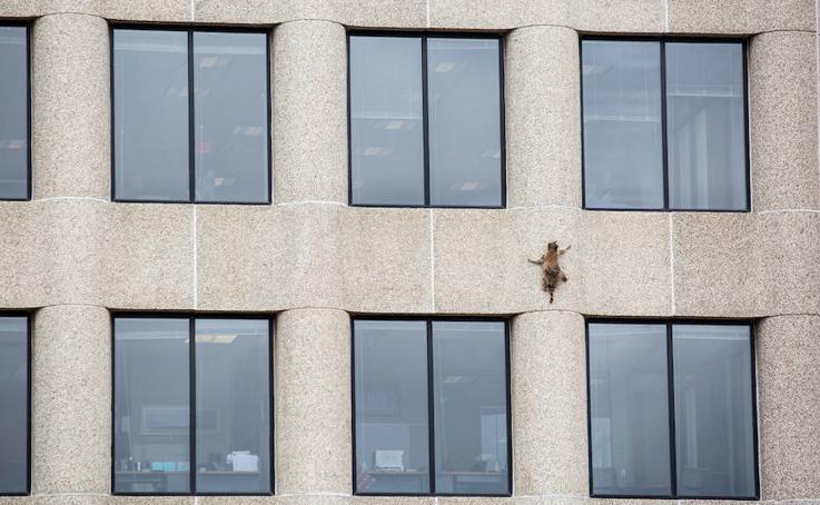 Un mapache pone en vilo a estados Unidos