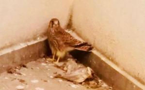 Rescatan a dos crías de halcón en el patio de un edificio en Dénia