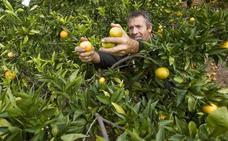 Agricultura enfría la marca 'Auténtica de Nules'