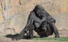 Muere la bebé gorila del Bioparc de Valencia