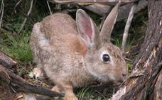 Un estudio revela que los conejos domésticos controlan mejor el miedo que los silvestres