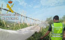 La Guardia Civil desmantela cultivos de cerca de 900 plantas de marihuana en Albaida y Alberic