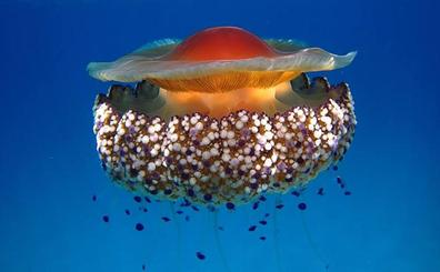 La carabela portuguesa y otras 13 medusas que asustan en el mar