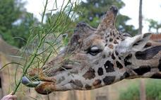 Las jirafas desaparecen del mundo