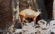 Nace la segunda cría de un Duiker rojo en el Bioparc de Valencia