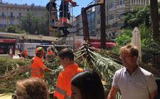 Una palmera cae en la plaza de la Reina