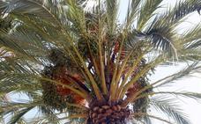 Los vecinos exigen más poda y mantenimiento de los árboles tras la caída de una palmera