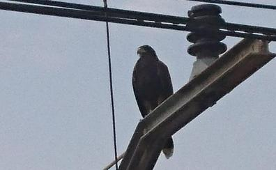 Un águila interrumpe cinco horas la línea 2 del metro en Paterna
