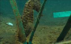 La ciudad artificial de los caballitos de mar