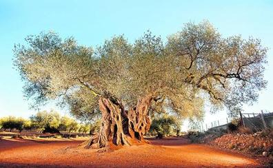 Ruta por los olivos de la Comunitat