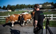 Vacas para reinsertar a los presos suecos