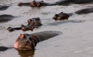 Muere un turista chino por el ataque de un hipopótamo en Kenia