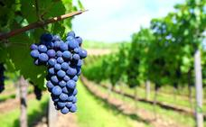 La UE incentiva una viticultura más natural y a la vez rentable
