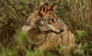 La vuelta del lobo ibérico a la Comunitat, un misterio para los biólogos