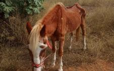 La Policía rescata a un caballo desnutrido en Catarroja