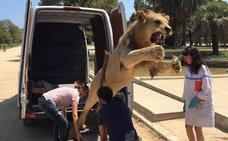 Decomisan un león africano disecado que se vendía por 6.000 euros en internet