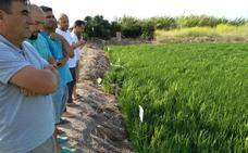 Método ecológico contra la 'pyricularia' del arrozal
