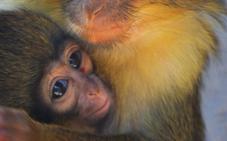 Nace en el Bioparc el primate más pequeño de África