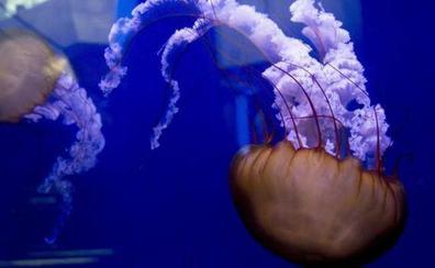 La medusa: Del rechazo a su acogida como mascota o elemento decorativo