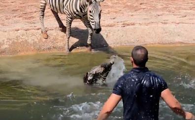 Los cuidadores del Bioparc salvan a una cebra recién nacida de morir ahogada