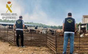 Detenido en la Vall d'Albaida por robar 190 cabras de la granja en la que trabajaba para venderlas