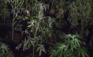 Incautadas 200 plantas de marihuana en un piso en Alicante