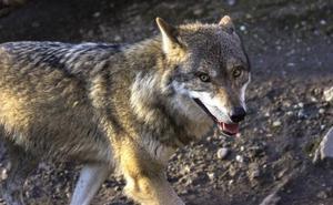 La peligrosa moda de tener un lobo en casa