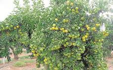 Las mandarinas de Sudáfrica arrebatan las ventas en el exterior a las valencianas