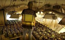 Descubren dos plantaciones de marihuana en Gandia y Xeresa