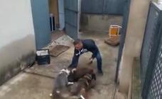 Un detenido en Simat de la Valldigna por inducir a dos perros a que maten a un jabalí a mordiscos