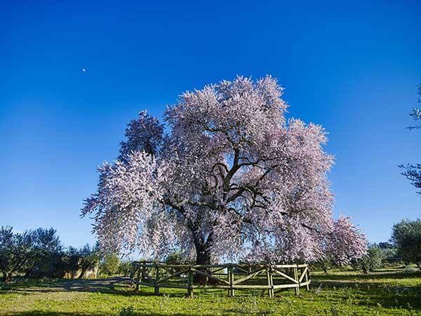 Cuatro árboles valencianos, entre los 10 finalistas a Árbol del Año