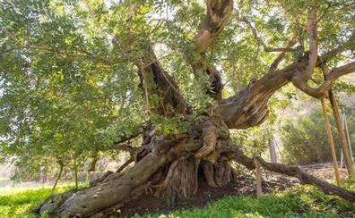 Cuatro árboles valencianos, finalistas para el mejor del año en España