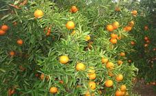 La industria paga la naranja para zumo a sólo 10 céntimos el kilo