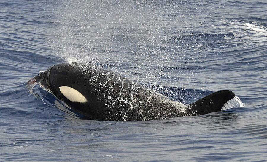 Las orcas comparten rasgos de personalidad con humanos y chimpancés