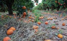 Sudáfrica acosa a la naranja valenciana