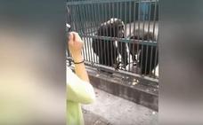 El lado más humano de un chimpancé: devuelve un palo selfie robado por su compañero
