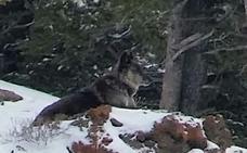 La loba salvaje más famosa del parque Yelowstone, abatida por un cazador