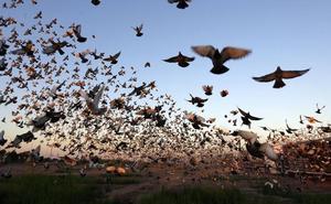 Cádiz 'destierra' a 5.000 palomas y las envía a Ribarroja