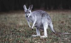 «Brutal y salvaje» ataque a un canguro: apuñalado 20 veces por un joven