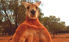 Australia despide a Roger, el canguro cachas