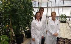 Aroma de tomate valenciano para proteger los cultivos de enfermedades y sequía