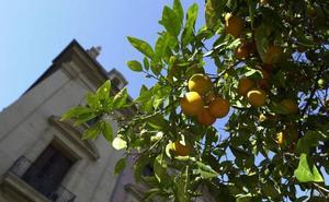 El Ayuntamiento de Valencia empieza a retirar la naranja amarga de 6.000 árboles de la ciudad