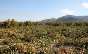 El declive de la naranja obliga a transformar los cultivos en Pego
