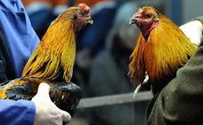 Drogas y oro robado, la verdad tras las peleas de gallos en Valencia