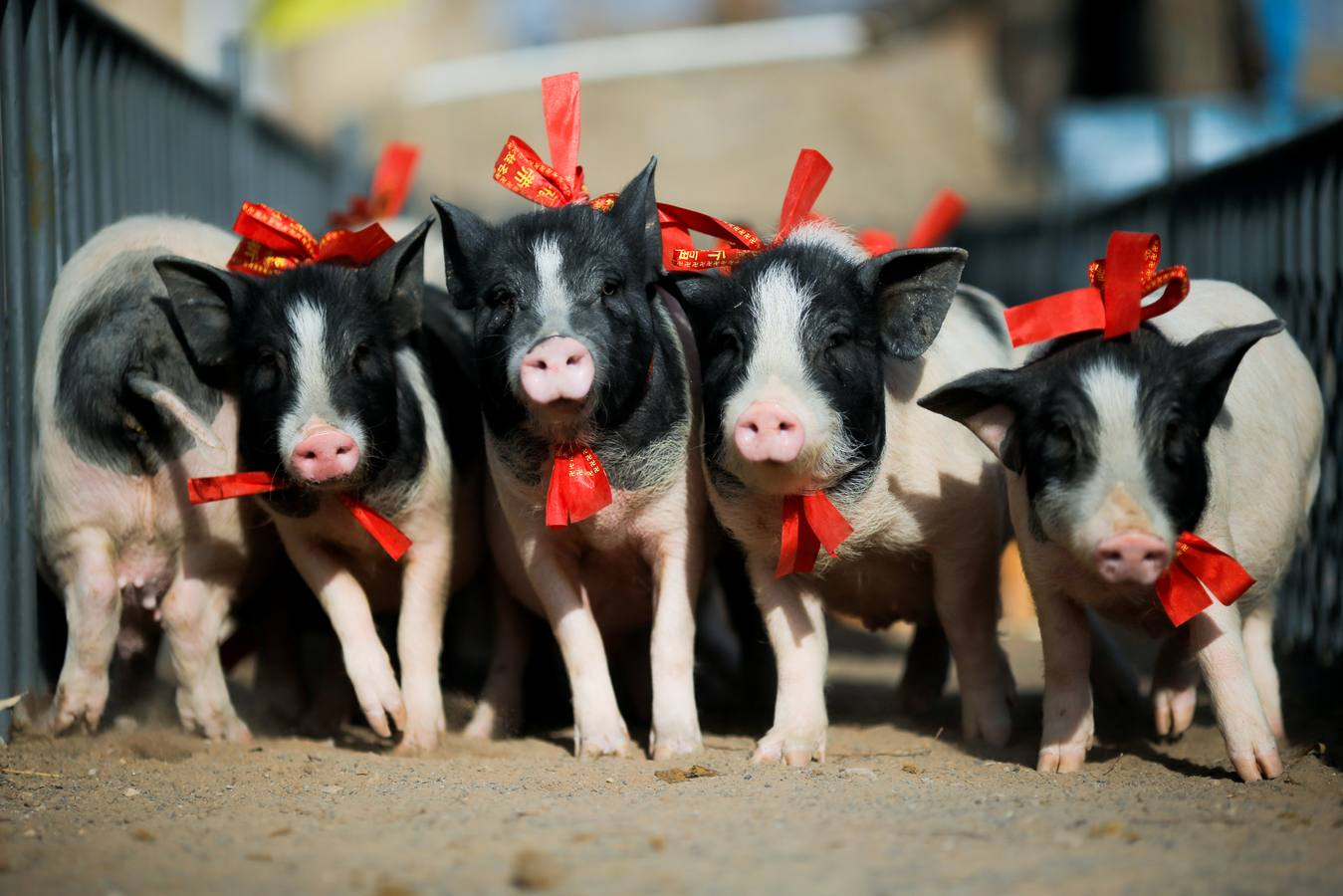 China se prepara para su Año Nuevo Lunar: el año del Cerdo